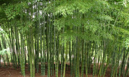 BAMBOO, THE REST OF THE STORY